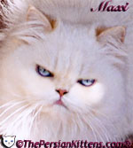 Persian Cat picture-Maxi