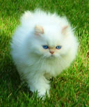 persian kittens CFA Champion Maxim