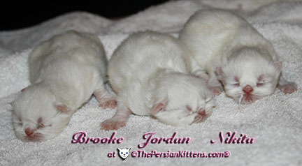 pictures of young persian kitten