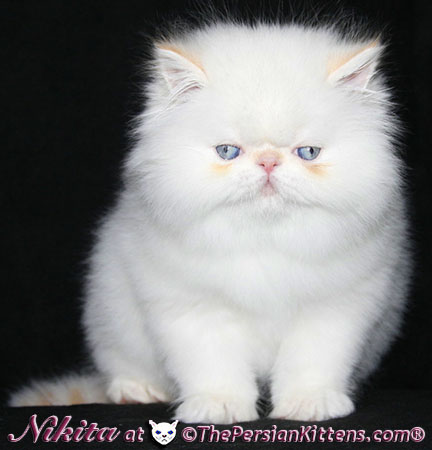 picture of white persian kittens
