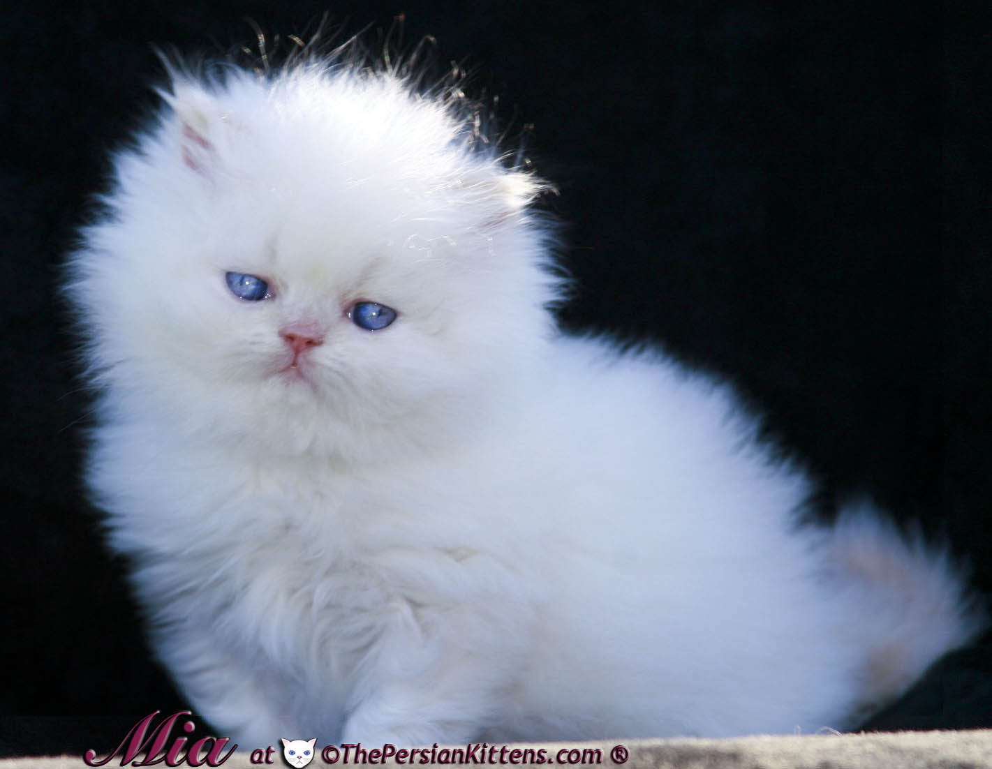 Persian Kittens For Sale | Persian Kittens For Adoption