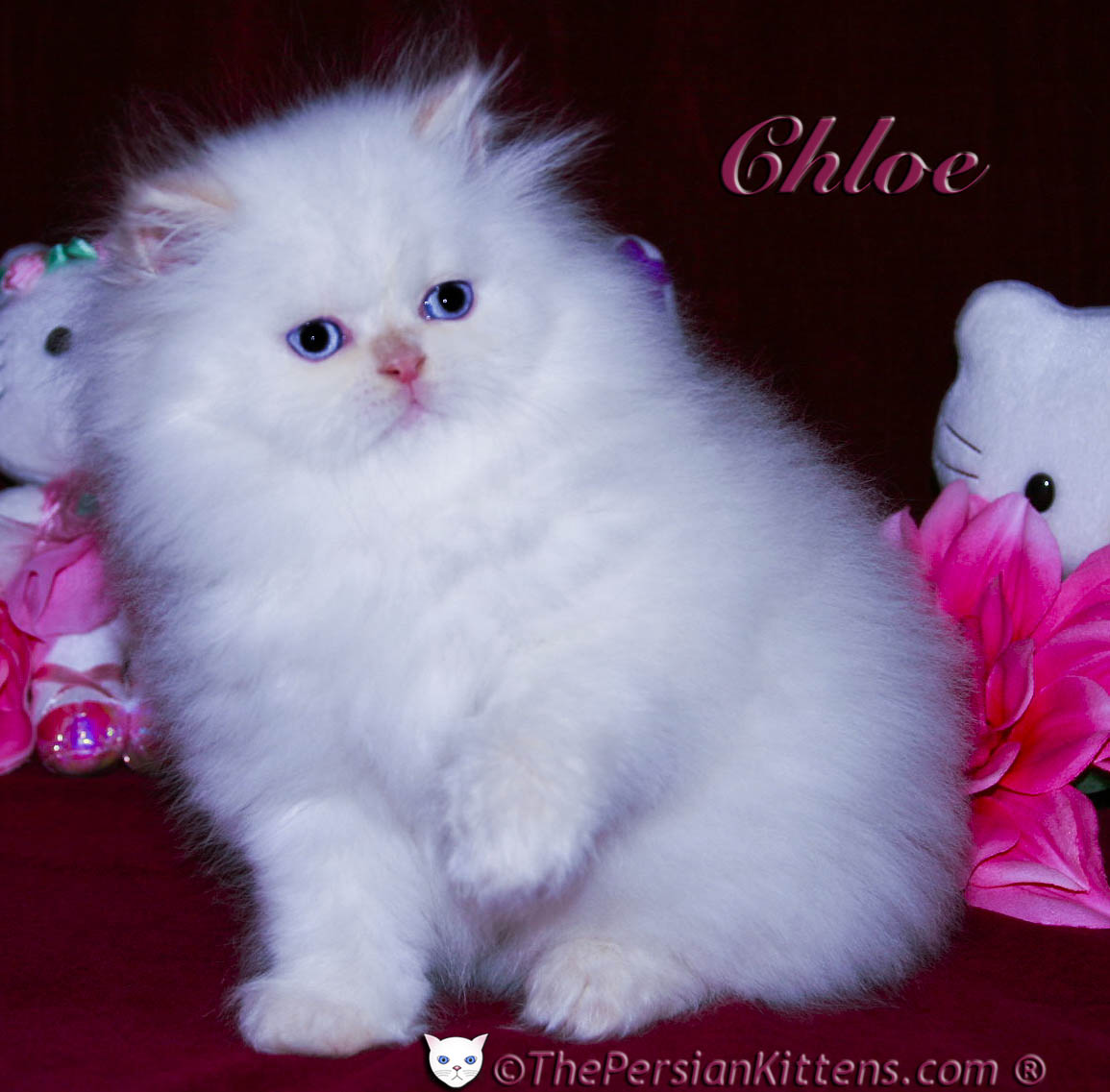 THE PERSIAN CATS HAS PERSIAN CAT FOR SALE